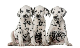 Three Dalmatian puppies sitting. In front of a white background royalty free stock photo