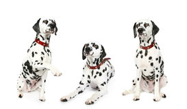 Three dalmatian puppy in front. Three Dalmatian puppy in red collar. Isolated white background stock photos