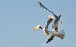 Three dance. 3 seagull in the sky and danced a round dance Stock Images