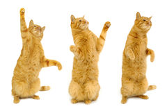 Three dancing cats Royalty Free Stock Photo