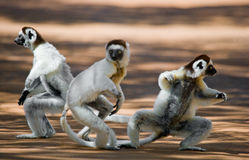 Three Dancing Sifakas on earth. Funny picture. Madagascar. An excellent illustration stock image
