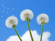 Three dandelion against the blue sky Royalty Free Stock Photo