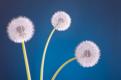 Three dandelion blowballs blue Stock Photography