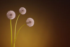 Three dandelion blowballs yellow Royalty Free Stock Photos
