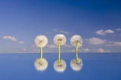 Three dandelion clocks on mirror Stock Image