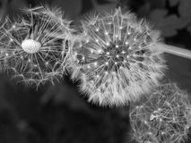 Three dandelion clocks with seeds flying away Royalty Free Stock Images
