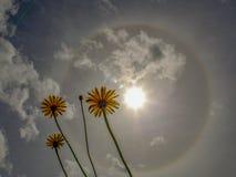 Three dandelion flowers against a solar halo stock photos