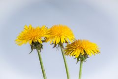 Trio of Dandelion Flowers. Three dandelion flowers in full bloom are isolated on a delicate blue tainted background stock images