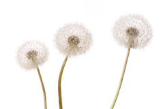 Three dandelion plants Royalty Free Stock Images