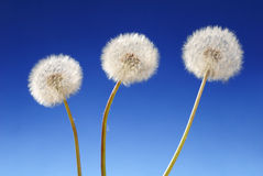 Three dandelion plants Stock Image