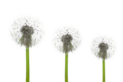 Three dandelions stock image
