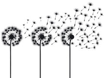 Three dandelions. Black and white illustration Royalty Free Stock Image