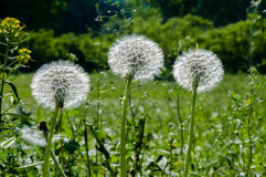 Three Dandelions Royalty Free Stock Photo