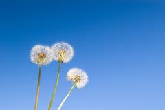 Three dandelions Stock Photo