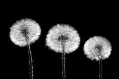 Three dandelions on black stock photo