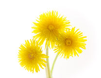 Three dandelions isolated on white. Focus on the petals royalty free stock images