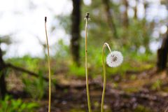 Three dandelions one broken royalty free stock photo
