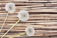 Three dandelions on reed background Royalty Free Stock Photography