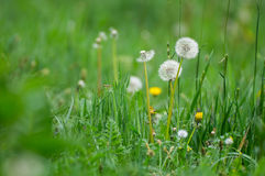 Three dandelions stand togather Stock Images