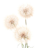 Three dandelions. Royalty Free Stock Images