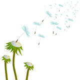 Three dandelions on the wind Stock Photos