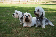 Three Dandie Dinmont Terriers isitting together n a field. Three Dandie Dinmont Terriers sitting together on grass in shade on a sunny day in a field Royalty Free Stock Photography