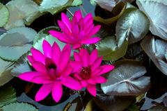Three Dark Pink Water Lily In The Stock Image