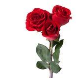 Three dark red roses. Stock Photos