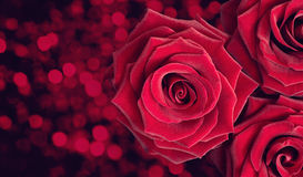 Three dark red roses Stock Photo