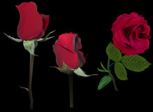 Three dark rose flowers isolated on black Royalty Free Stock Photos