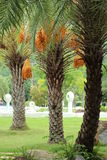 Three date palm. In the garden Stock Image