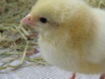 Three day old chick Stock Image