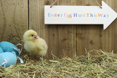 Three day old chick Royalty Free Stock Image