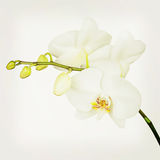 Three day old white orchid with retro filter effect. Royalty Free Stock Photos