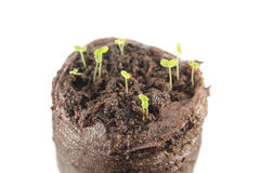 Three-day snapdragon seedlings with two green cotyledon leaves isolated on white background Royalty Free Stock Image