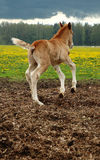 Three days newborn foal. Trying run Royalty Free Stock Image
