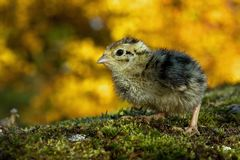 Three days old quail, Coturnix japonica.....photographed in nature. Breed by hoby growers in Sweden. The Japanese quail, Coturnix japonica, is a species of Old stock photography