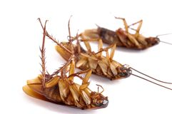 Three dead cockroaches. With selective focus royalty free stock image