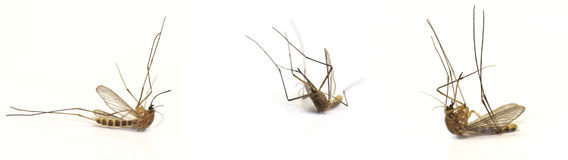 Three dead mosquito Stock Photography
