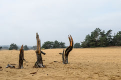 Three dead tree stumps in Sand Royalty Free Stock Images