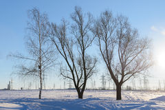 Three deciduous tree. On snowy field day Stock Photos