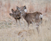 Three deer Royalty Free Stock Photography