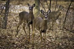 Three Deer Royalty Free Stock Images