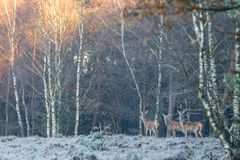 Three deer at the edge of the forest royalty free stock image