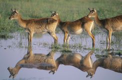 Three Deer by pond Royalty Free Stock Image