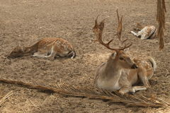 Three Deer Resting Stock Images
