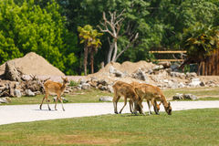 Three deer on the road Royalty Free Stock Photo