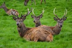 Three Deer. 3 deer sitting in a perfect arrangement stock photo