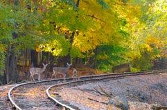 Three deer on tracks. Three deer on an old railroad track Stock Photography