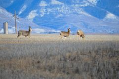 Three Deer trotting through a field Stock Photography